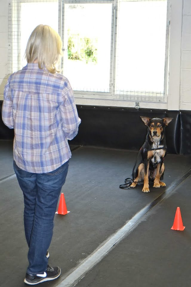 Foundation Training for Adolescent | Adult Dogs